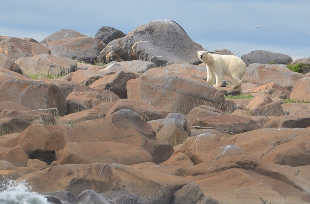 Polar bear on the rocks at Eskimo Point.