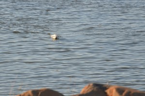 Polar bear swimming in Hudson BAy.