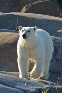 Polar bear on the rocks in Churchill,MB.