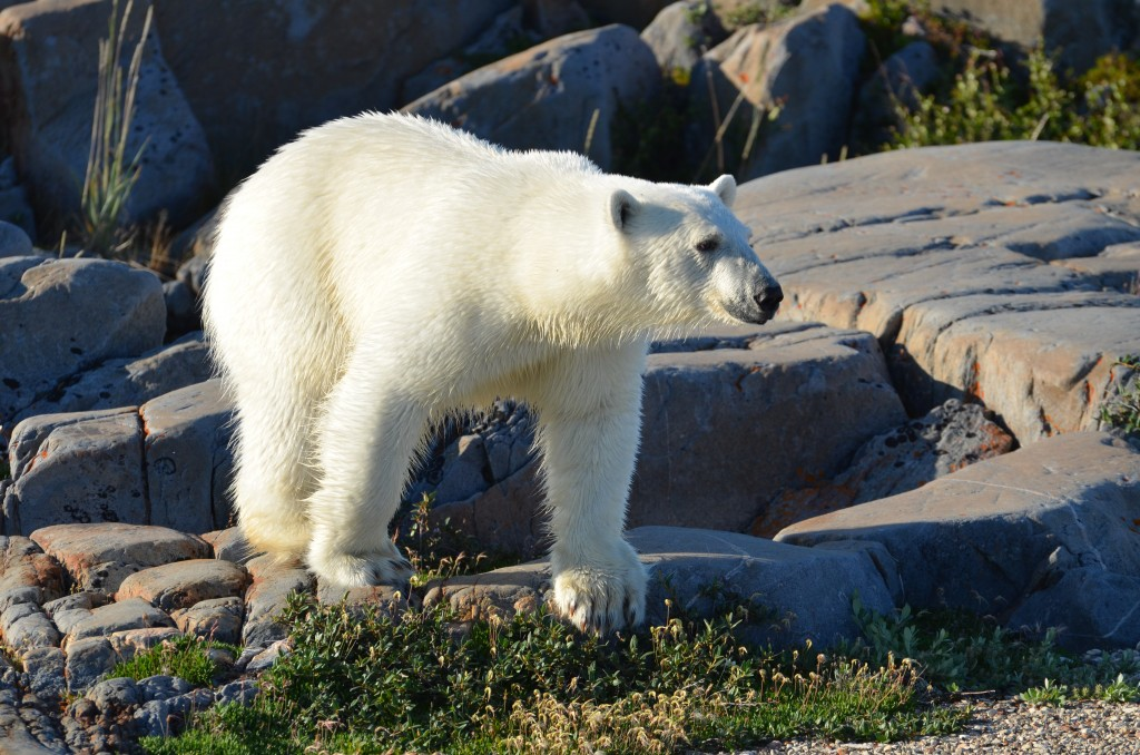 Summer polar bear in Arctic.