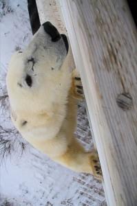Polar bear in Churchill,MB.