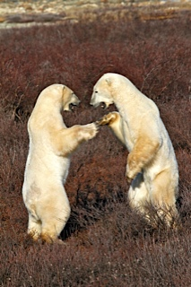 Sparring polar bears.