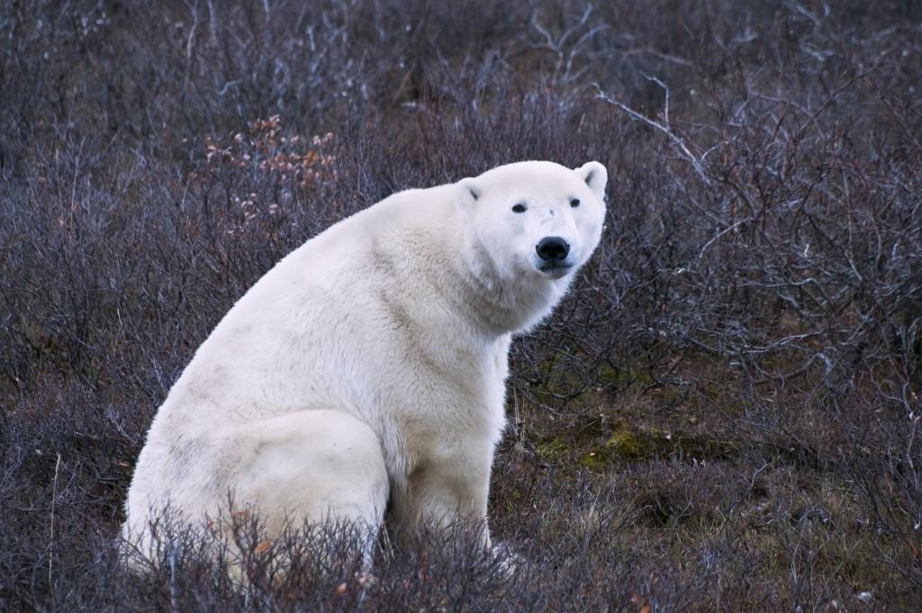 Polar bear on the tundra in Churchill,MB.