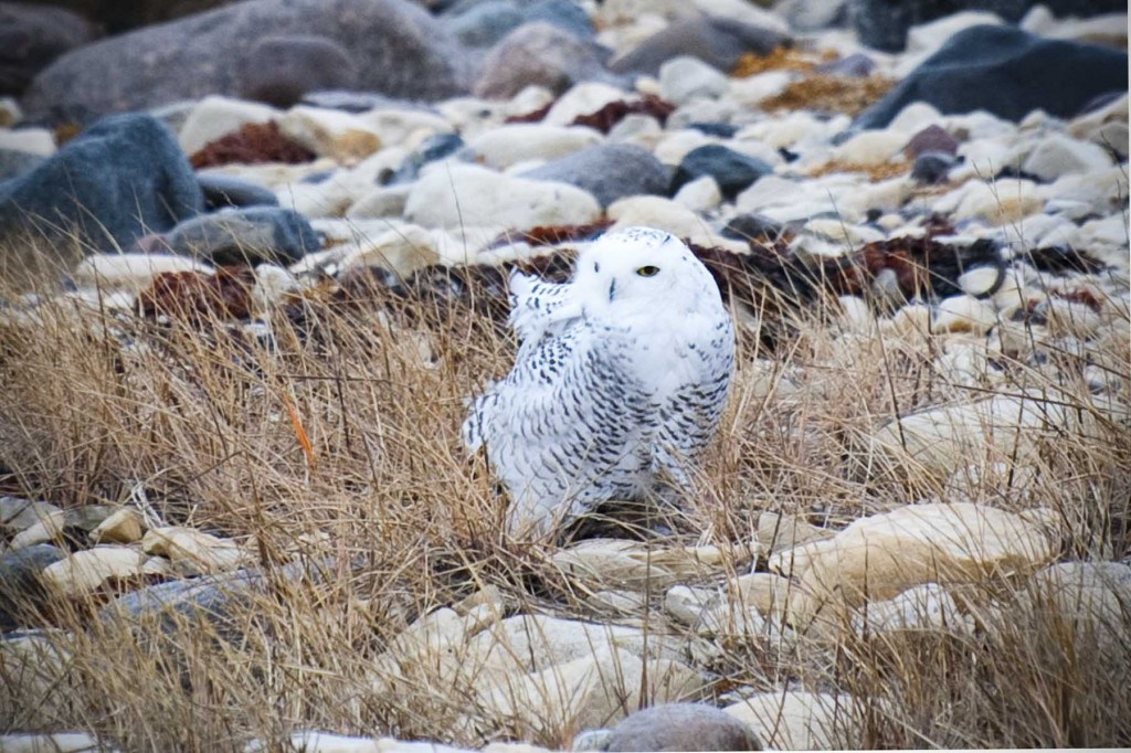 Snowy owl on the tundra.