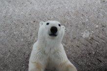 Curious polar bear leans against polar rover.