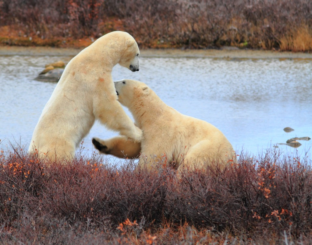 Sparring bears before the snow in Churchill.