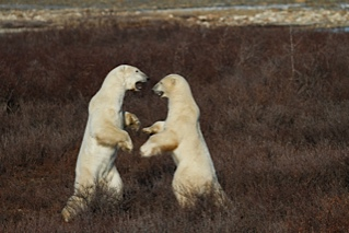 Polar bears sparring in the willows.