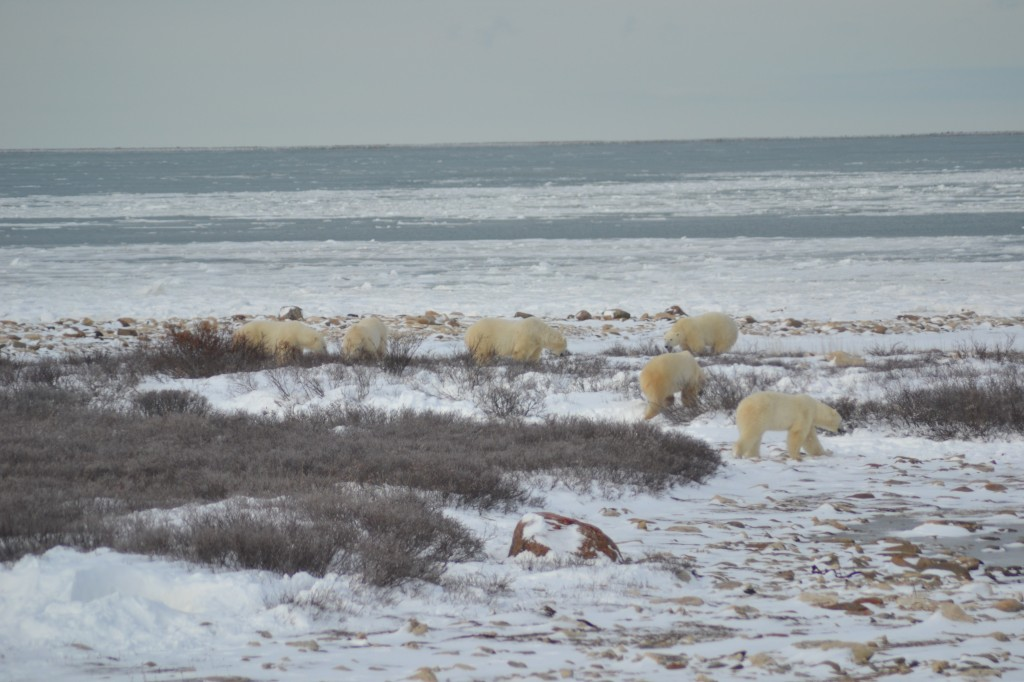 A group of polar bears gathers for some sparring. Sandra Elvin photo.
