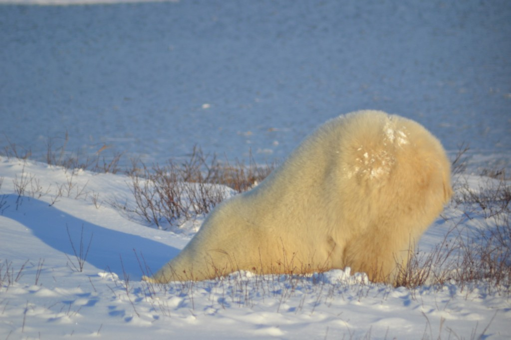 Polar bear digging in the snow.