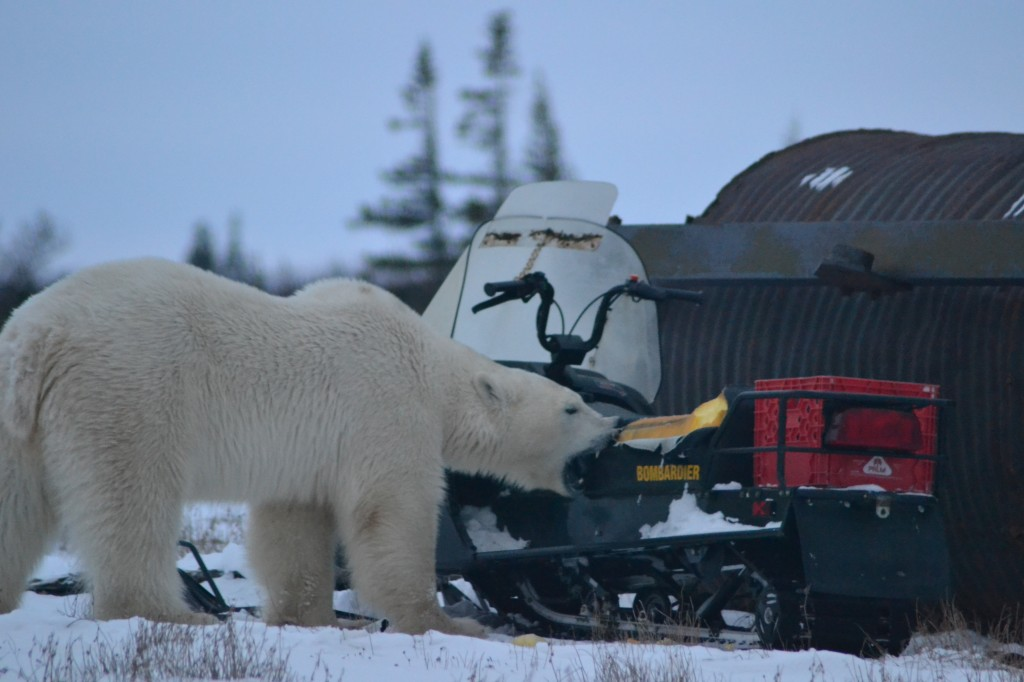 A polar bear rips up a snow machine in Churchill,MB.