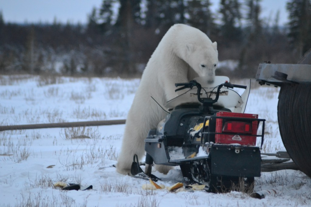 A polar bear tears at a snowmobile in Churchill, MB.