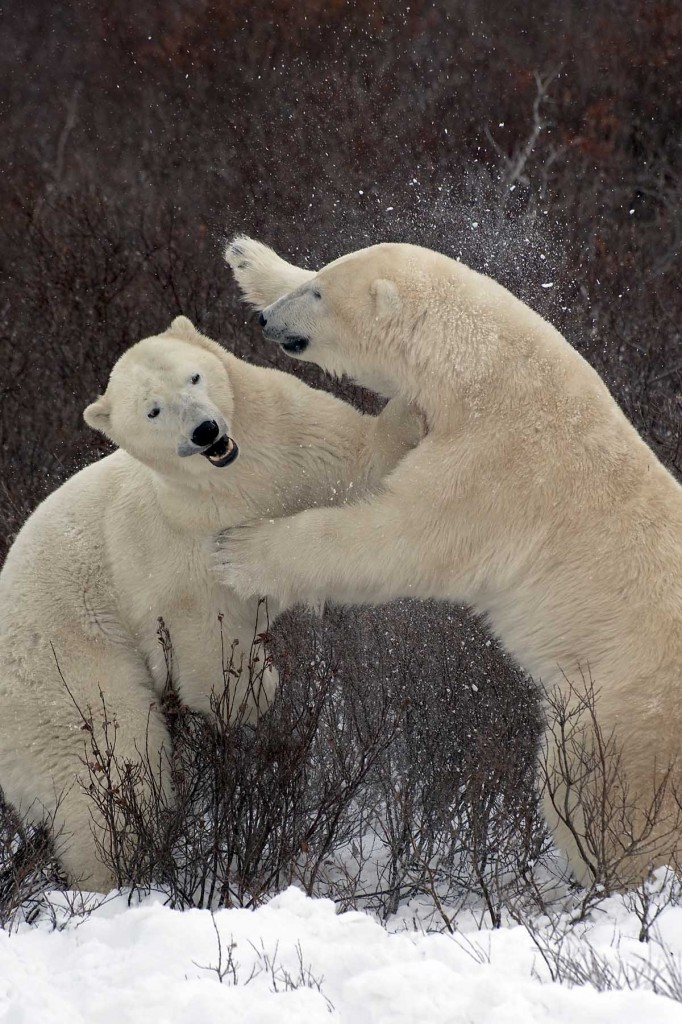 Polar bears spar in the willows of the Churchill Wildlife Management Area.