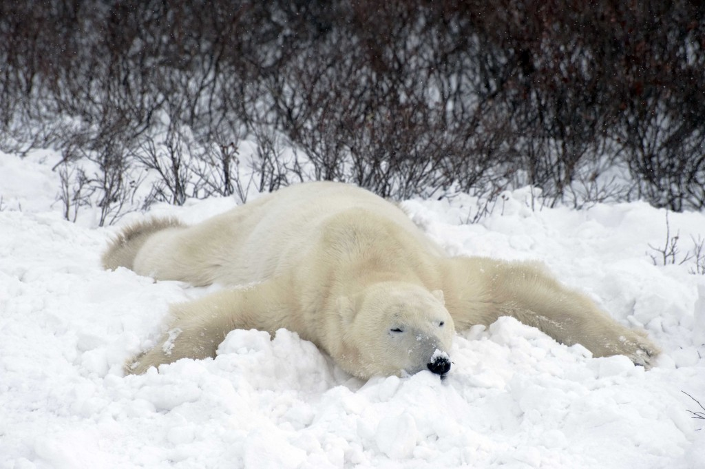 A polar bear chills in the snow.