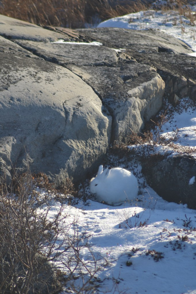 Arctic hare hiding in the rocks in Churchill,MB.