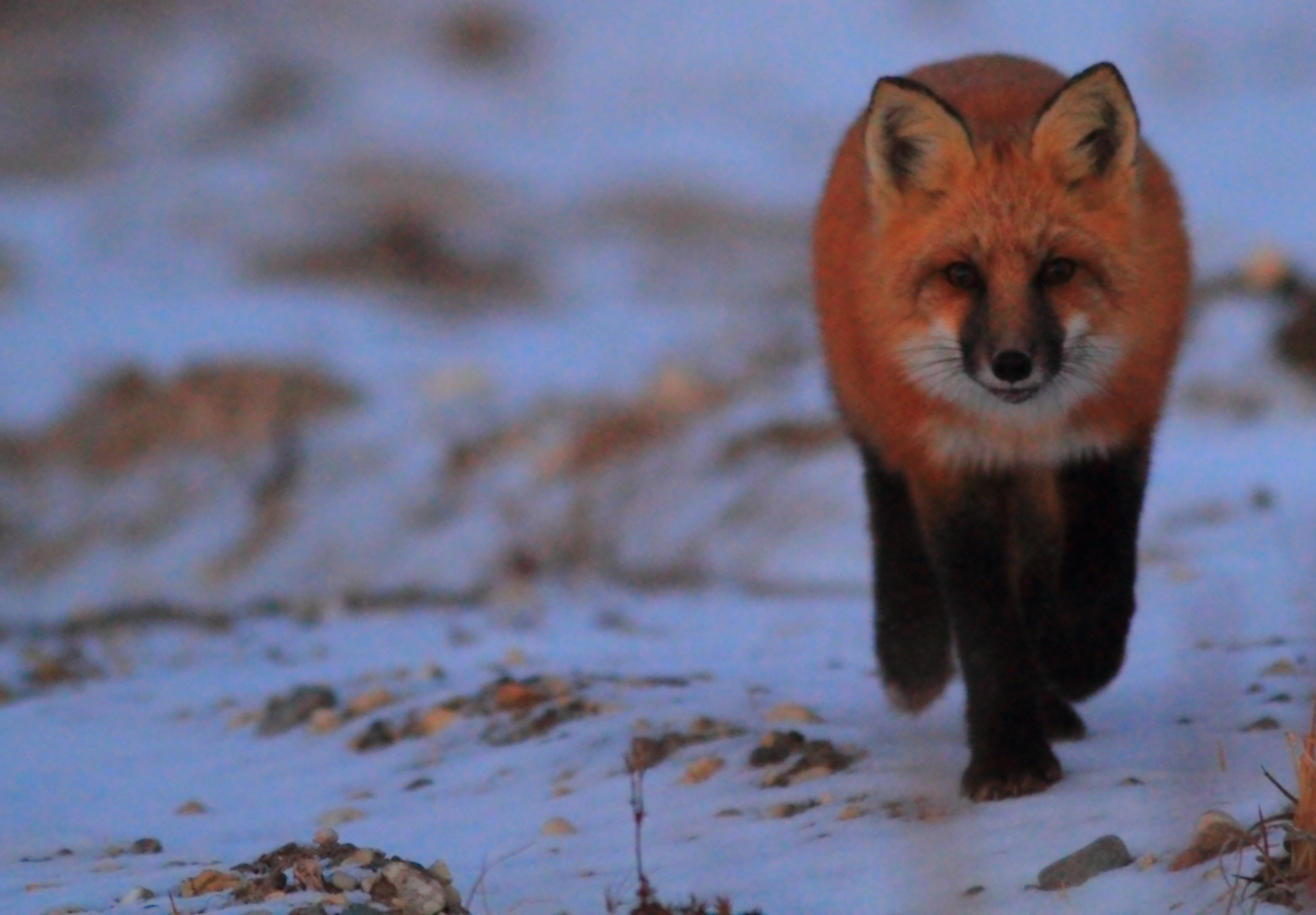 Red fox patrolls the tundra.