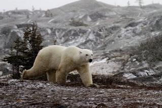 Polar bear walks along rocks.
