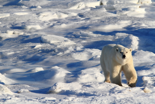 A polar bear navgates the ice and snow.