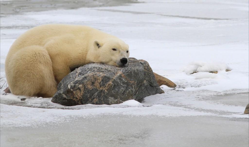 Sleeping polar bear on the tundra.