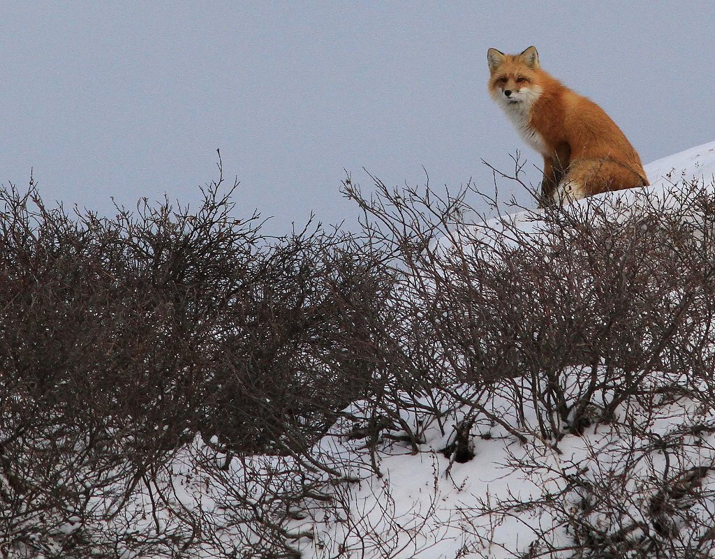 Red fox in the willows. Churchill,Mb