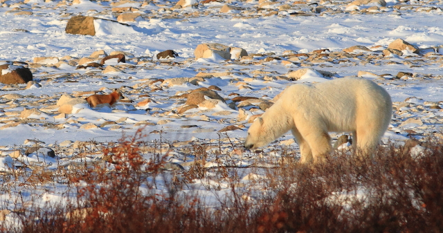 Polar bears and red foxes coexist on the tunra and ice pack.