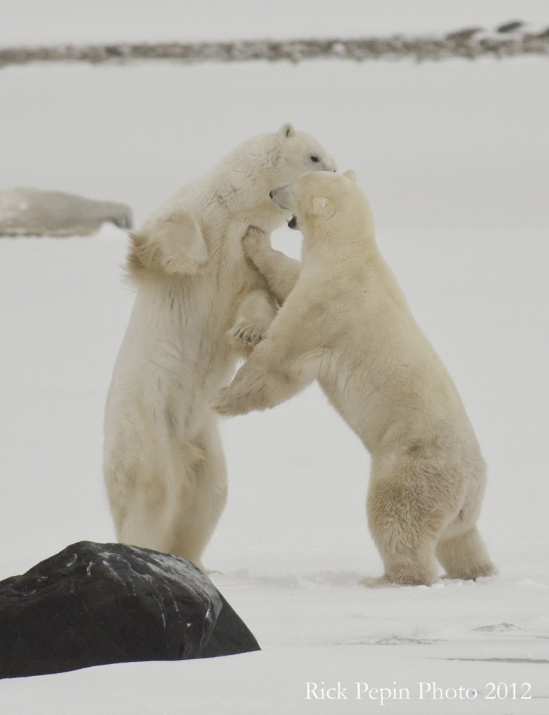 Polar bears sparring in the Arctic.