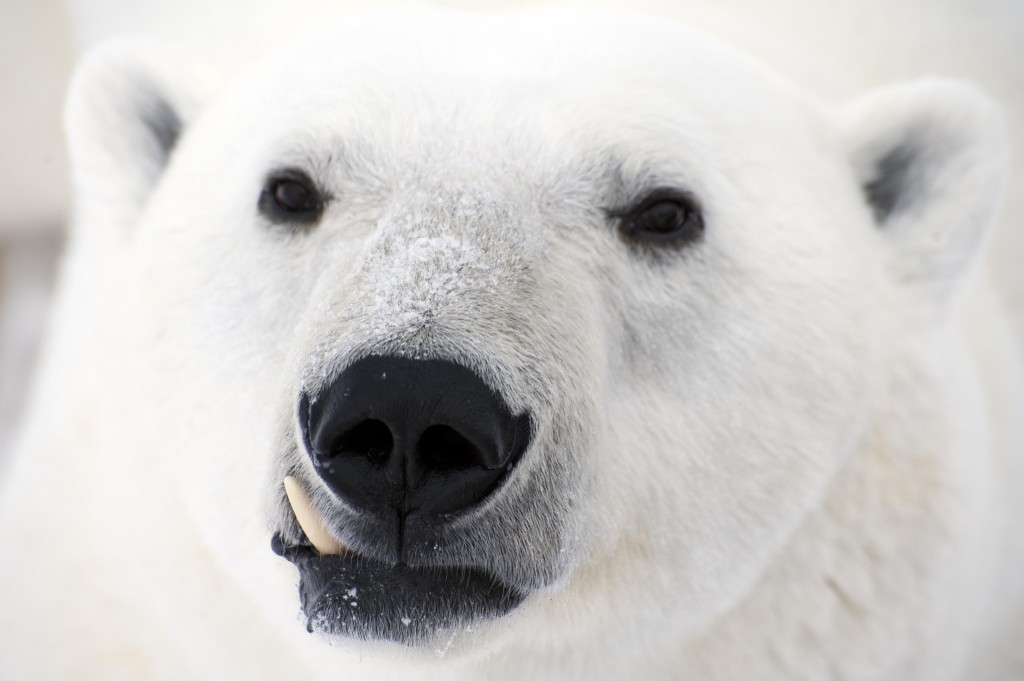 Polar bear up close in Churchill,MB.