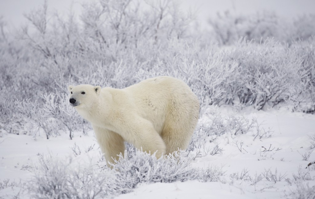 Polar bear near the season's end.