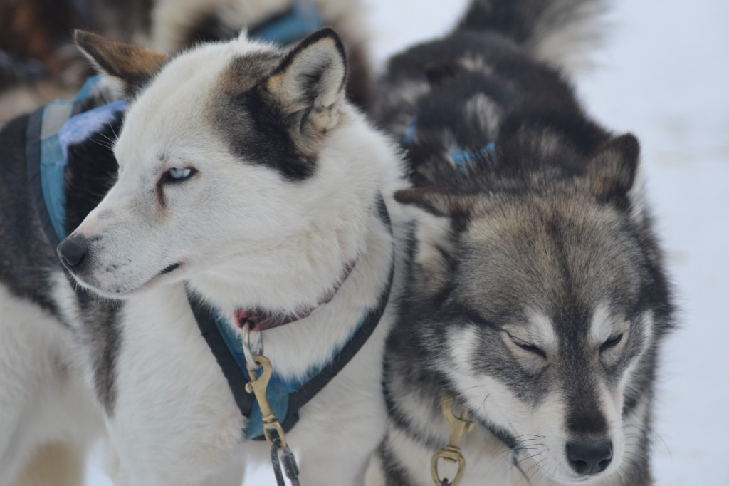 Sled dogs in Churchill,MB.