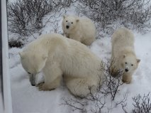 Sow with cubs in Churchill,MB