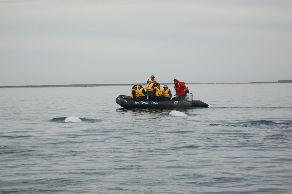 Travelers get intimate with beuga whales from a zodiac.