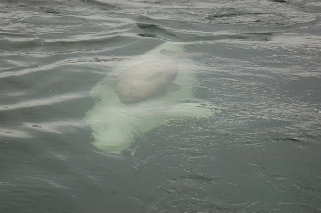 Beluga sow and calf swimming in sync through the Churchill River.