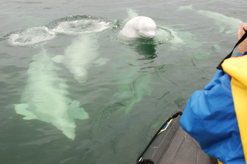 Beluga whales rarely spyhop but do come out of water when swimming.