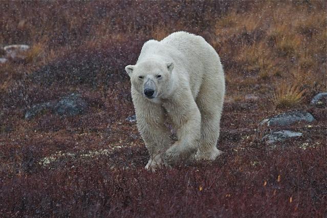 Polar bear in the mist.