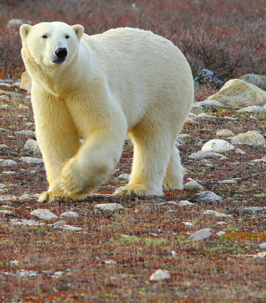 Polar bear on the Hudson Bay coast