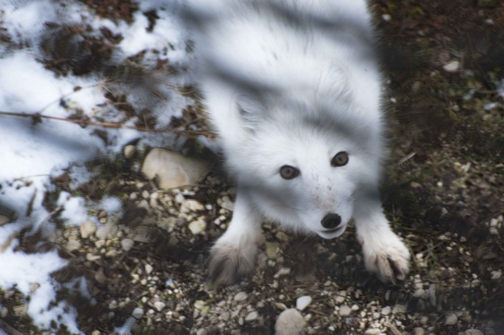 Arctic fox inquisitive of travelers. Colby Brokvist photo.