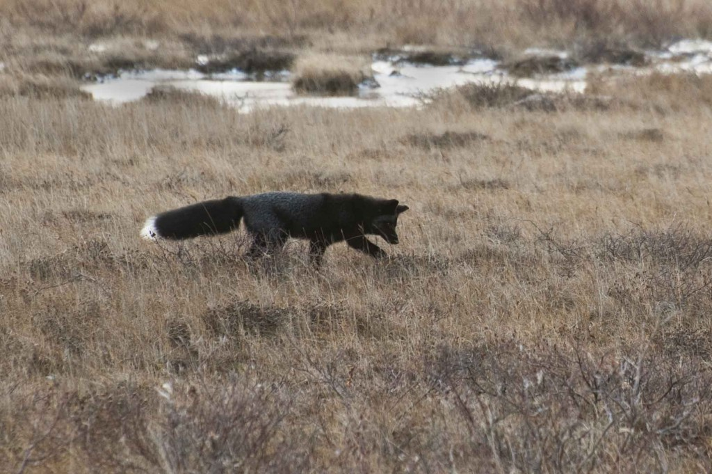 Silver fox scouring tundra for lemmings. Colby Brokvist photo