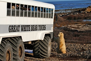 Polar bear checking out a polar rover in the Churchill Wildlife Management Area.