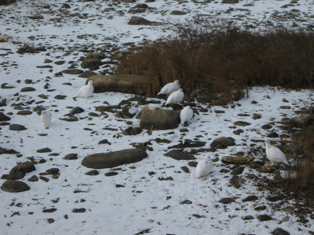 Ptarmigan on the tundra. Karen Walker photo,