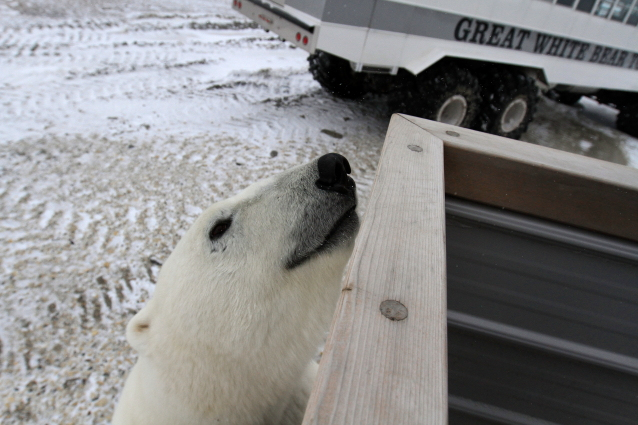 Polar bear looking for a free lunch. Brad Josephs photo.