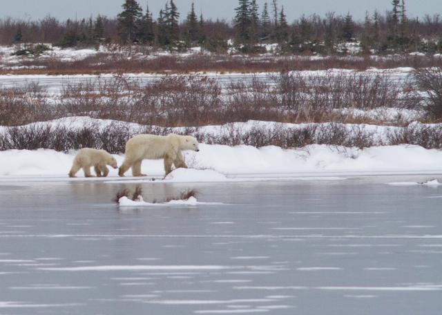 Sow and cub polar bear walk along a frozen tundra pond. Brad Josephs photo.