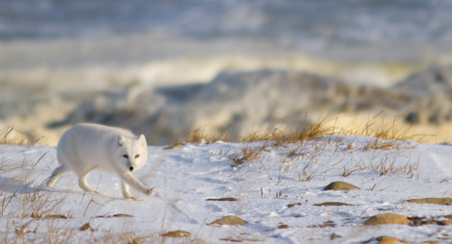 Arctic fox moves deliberately across the tundra keeping a watchful eye on a rover. Brad Josephs photo.