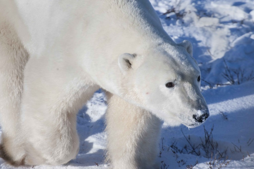 Polar bear near the Tundra Lodge. Colby Brokvist photo.