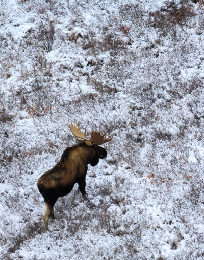 Moose moving along the tundra. Brad Josephs photo.
