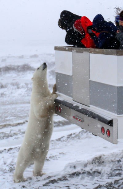 Inquisitive polar bear says hello to a group of travelers. Brad Josephs photo.