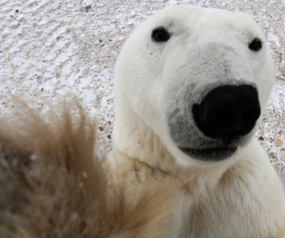 Polar bear up close and personal. Photo Brad Josephs.