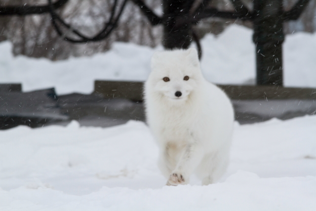 Arctic fox Churchill, MB