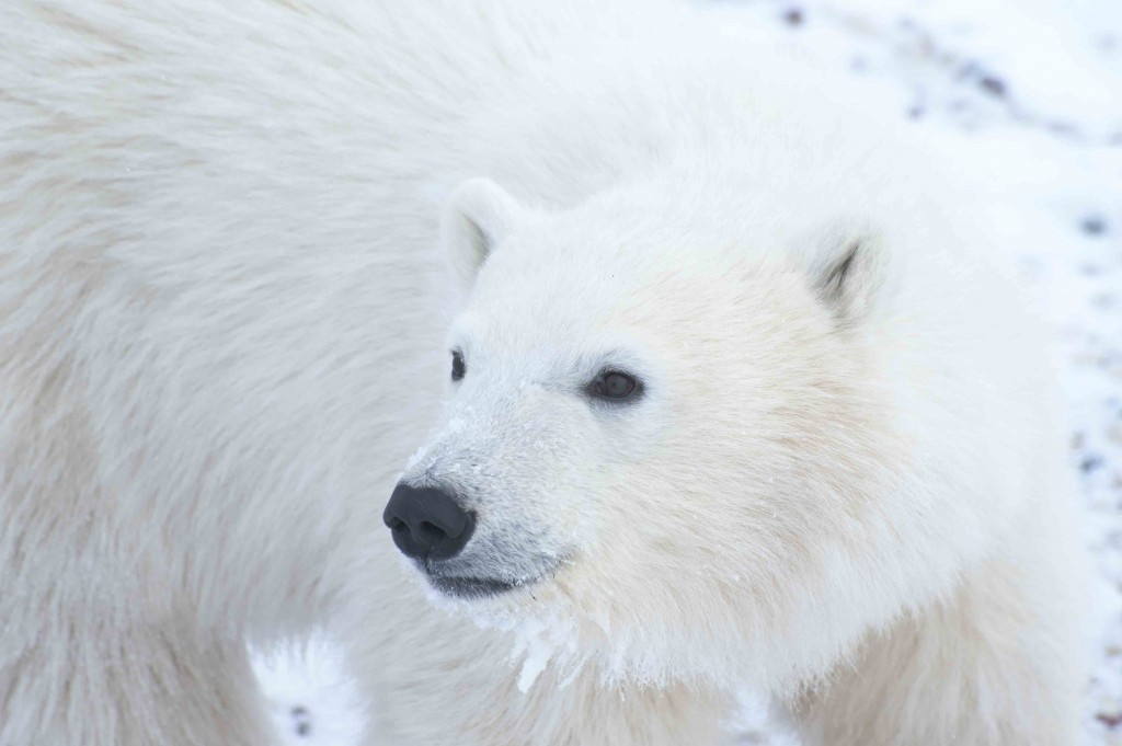 Young polar bear in the Churchill Wildlife Management Area. Colby Brokvist photo.