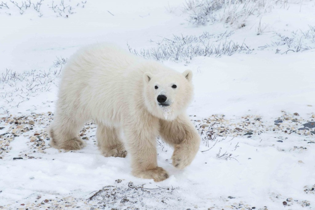 Young polar bear finding its' way along the tundra. Colby Brokvist photo.
