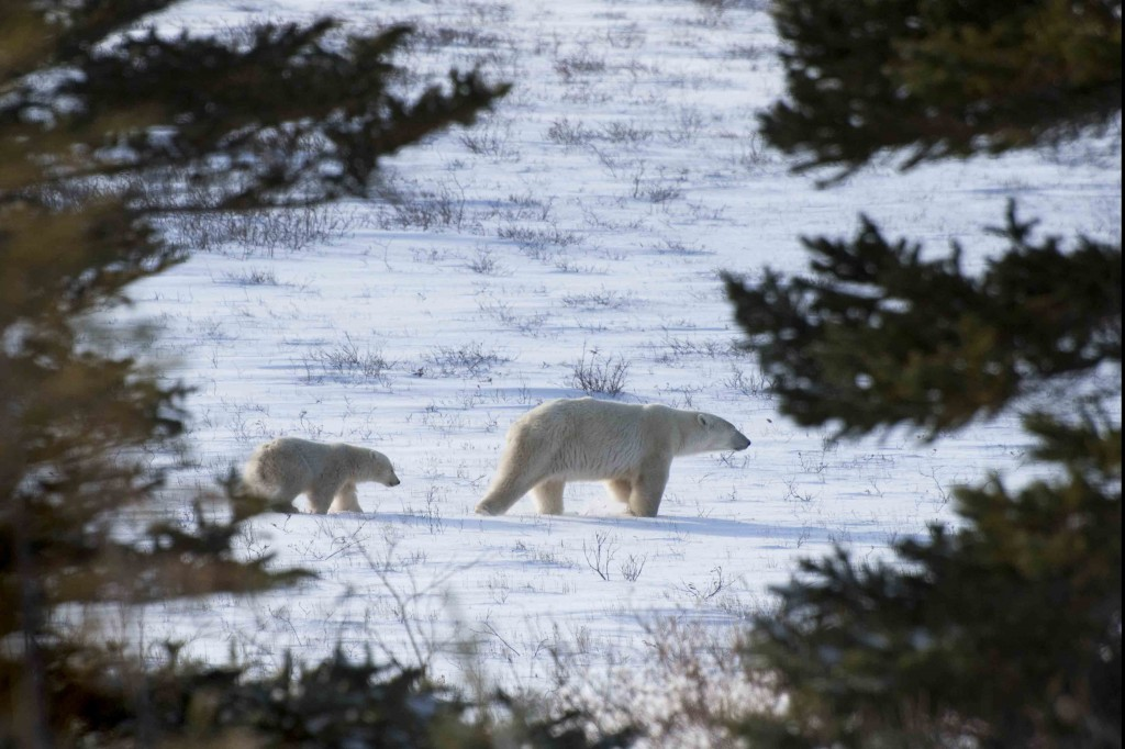 Sow and cub in Churchill, Manitoba wait for the ice to form.