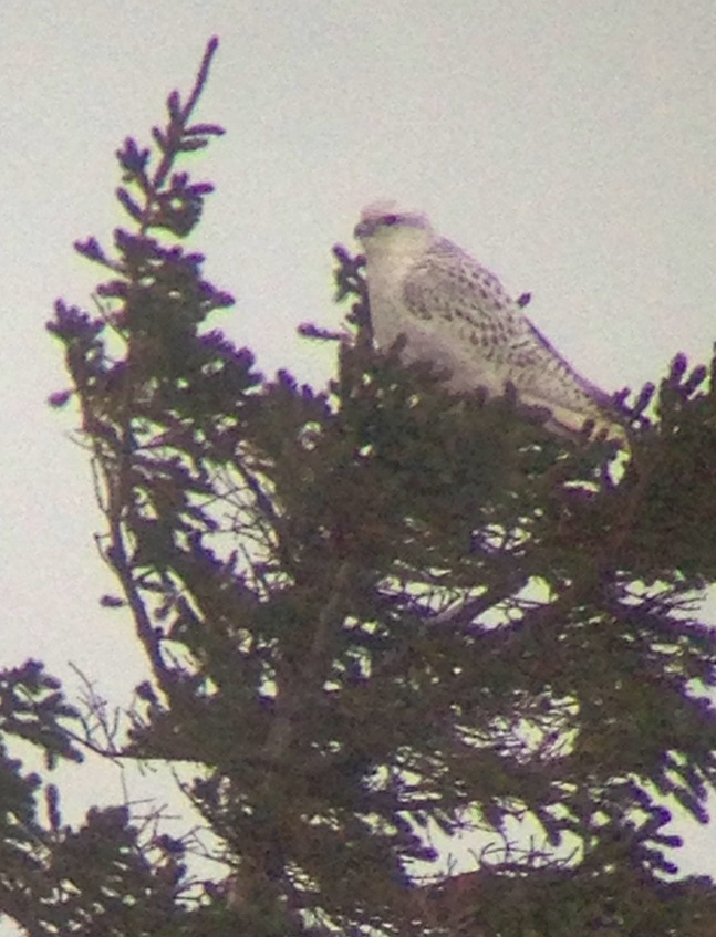 Gyrfalcon atop a black spruce in Churchill. Paul Brown photo.